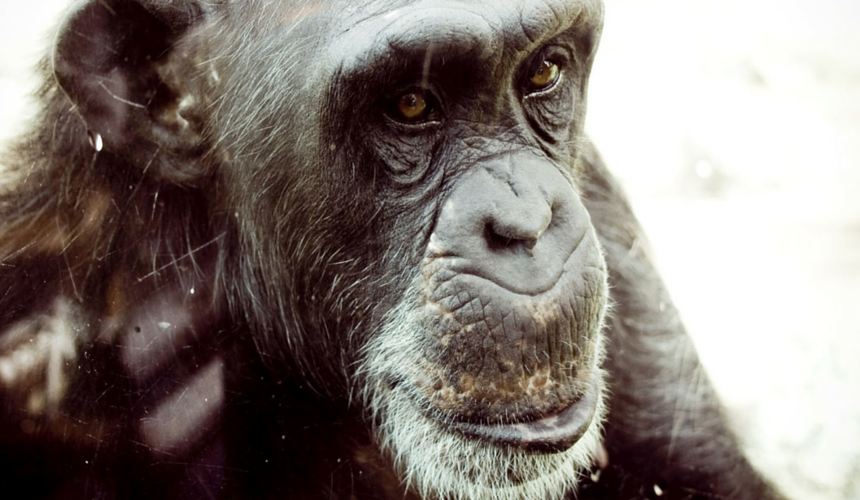The Jane Goodall Institute does amazing work to help endangered chimpanzees