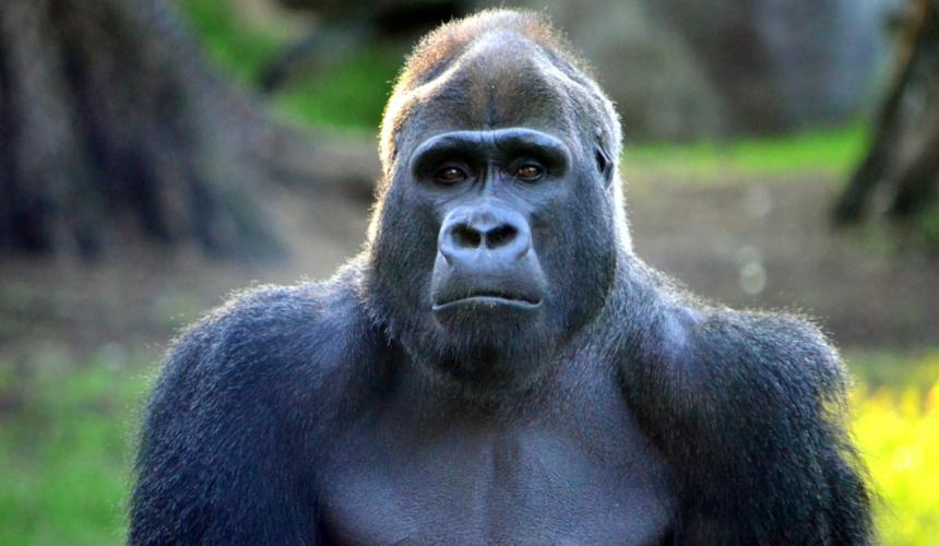 Endangered Animals Gorilla