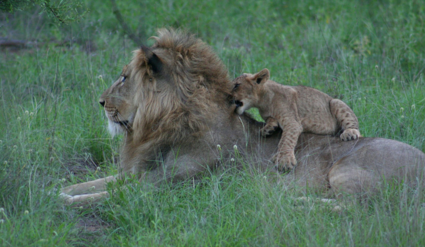 Lions are just one of the species protected from becoming endangered by the IUCN