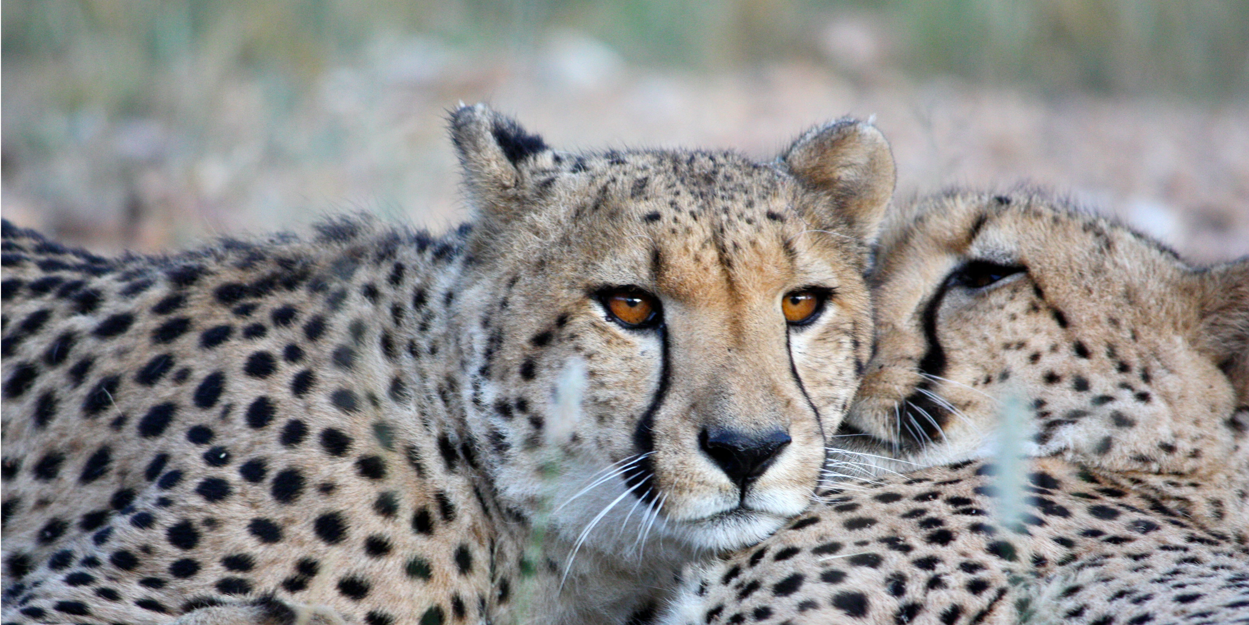 are cheetahs endangered