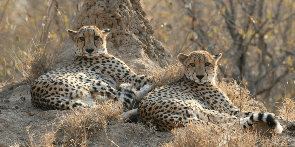 A coalition of two cheetahs resting.