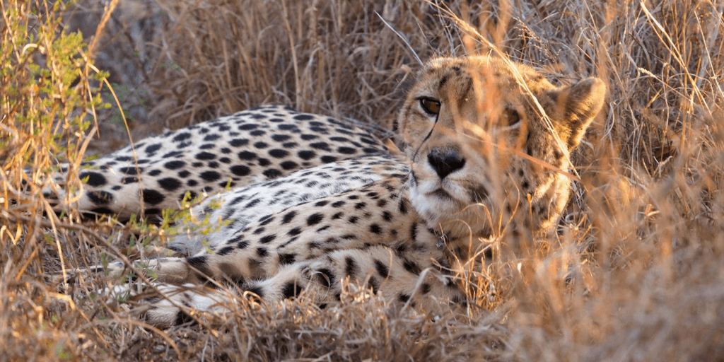 The cheetah enjoys lying down in the bushes.