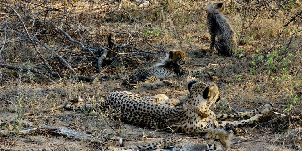 Work To Save The Cheetah In South Africa