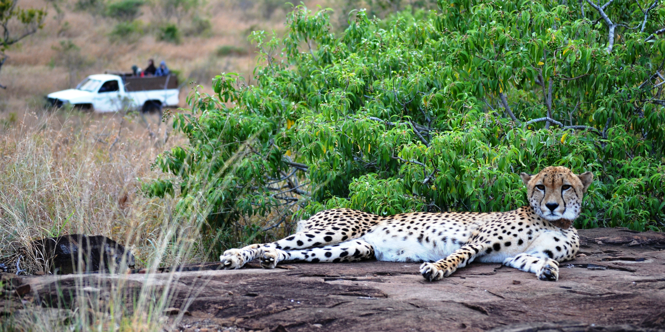 help save cheetahs from their ever changing habitat and food resources with GVI's wildlife conservation and research internship.