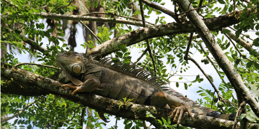 An iguana lying in a tree, spotted during the reptile and amphibian diversity research in the Costa Rican Rainforest.