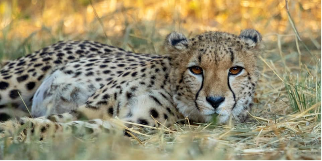 Track cheetahs behaviour during a cheetah conservation and research project