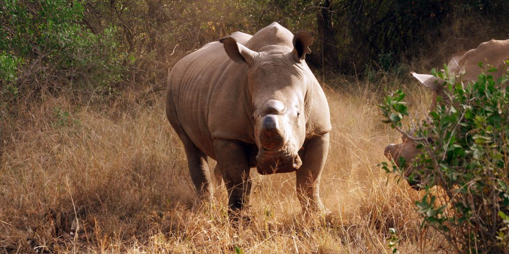 Rhino populations are decreasing and volunteer work is needed to help conserve the remaining rhinos.