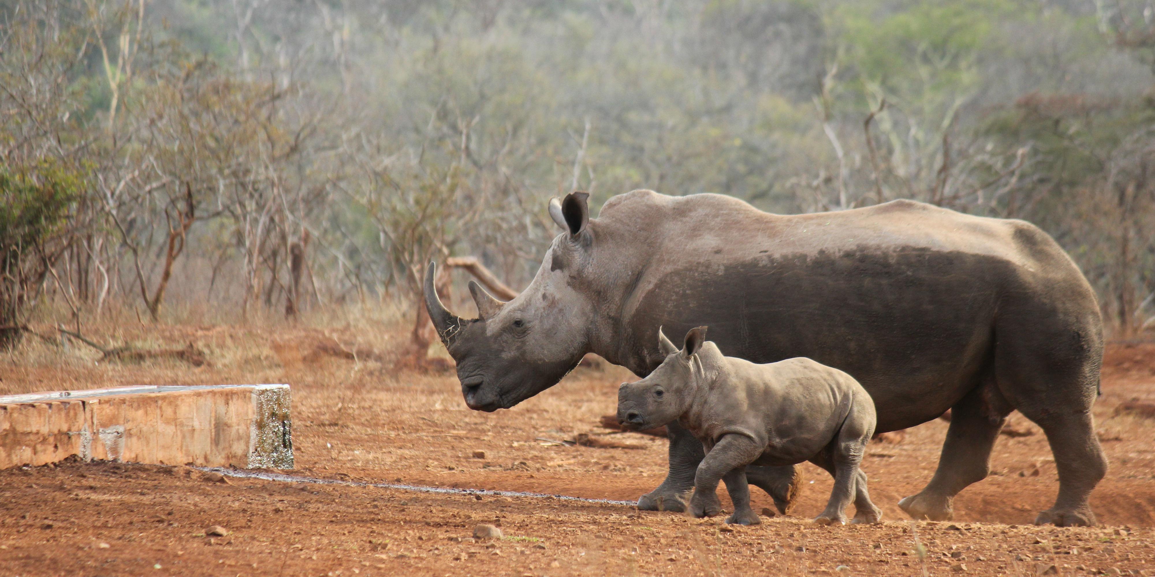 Join a volunteer program towards rhino conservation efforts.