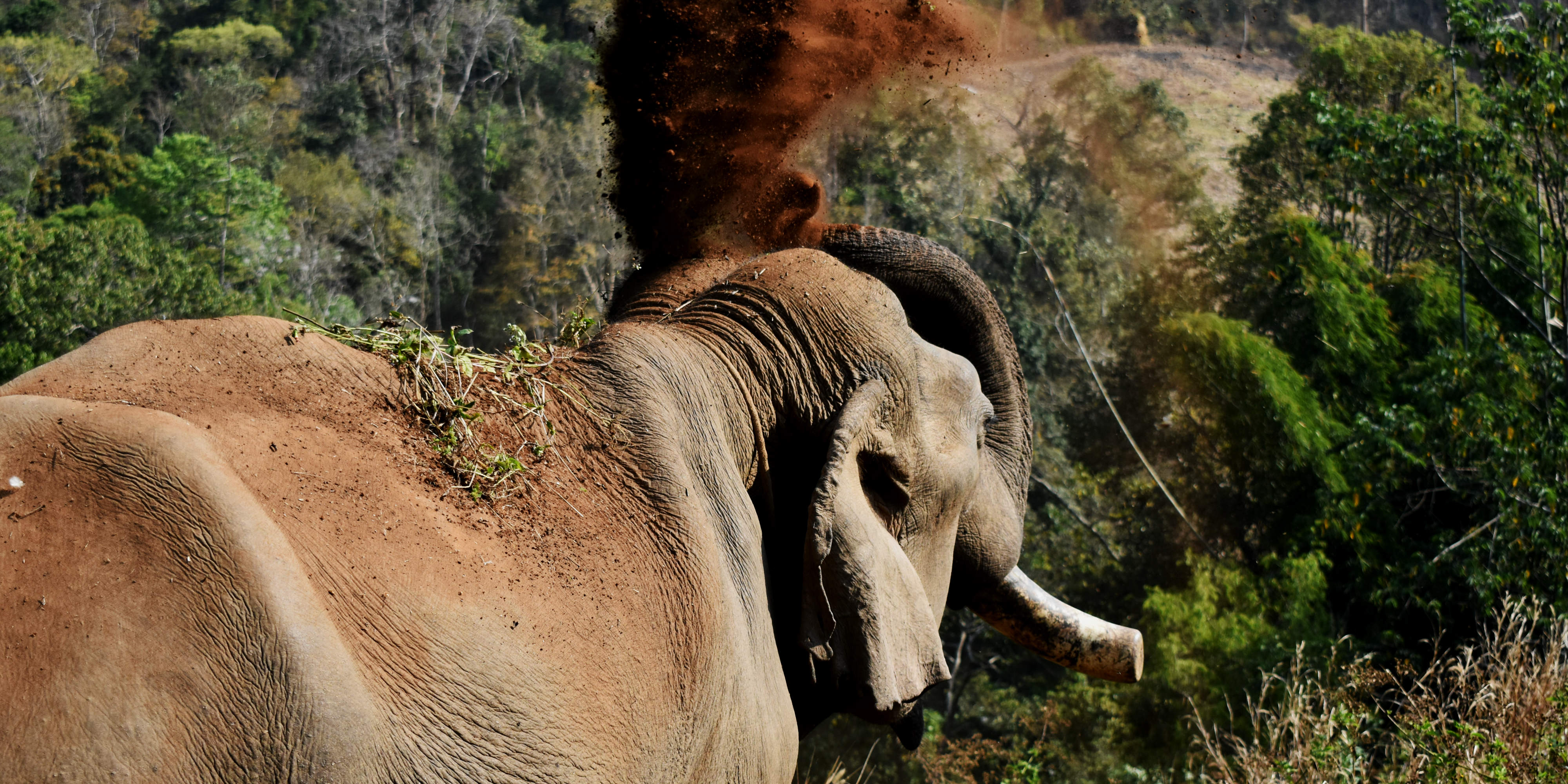 An elephant in Thailand flings dirt onto its back. After being reintegrated into the natural forest habitat, these elephants begin to display this kind of natural behaviour.