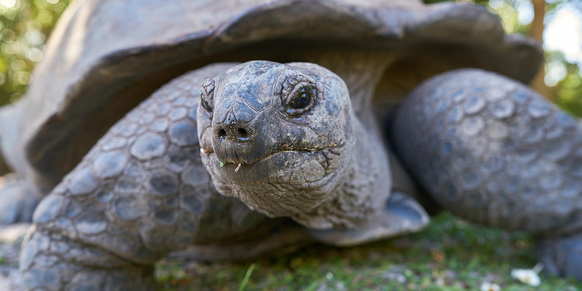 A Seychelles giant tortoise sticks out its long neck.