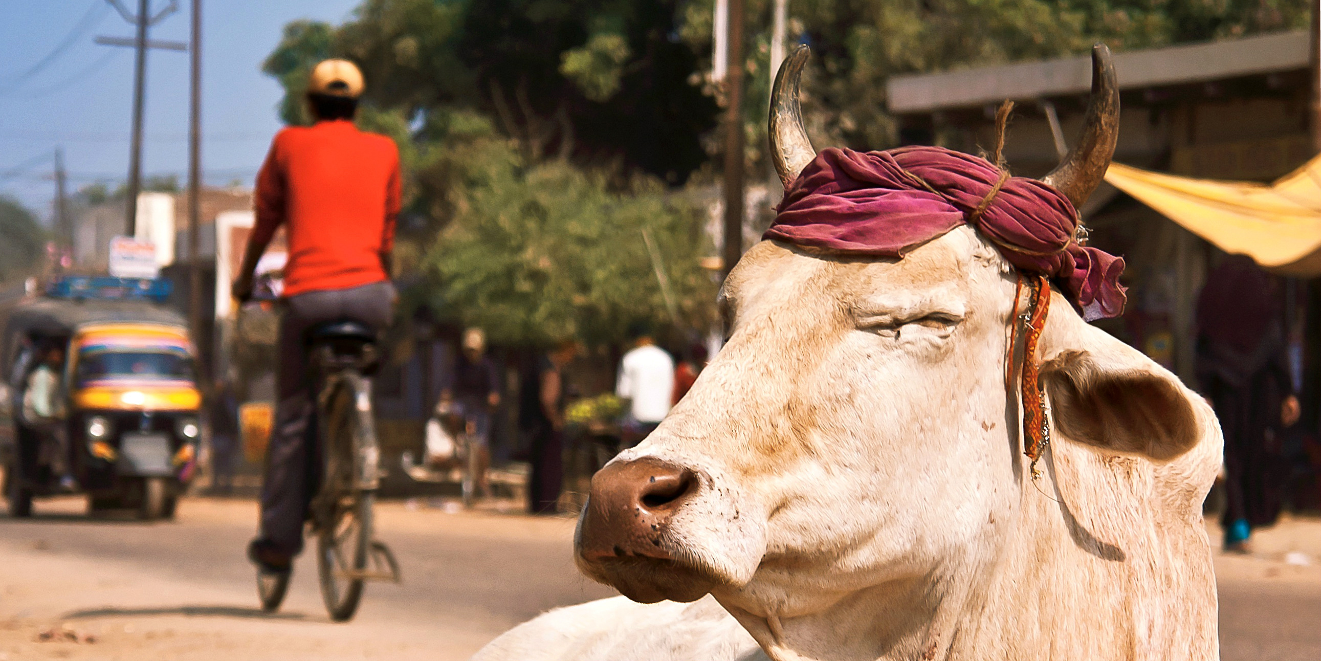 Travel in India and you might come across cows like this, roaming freely in the streets.