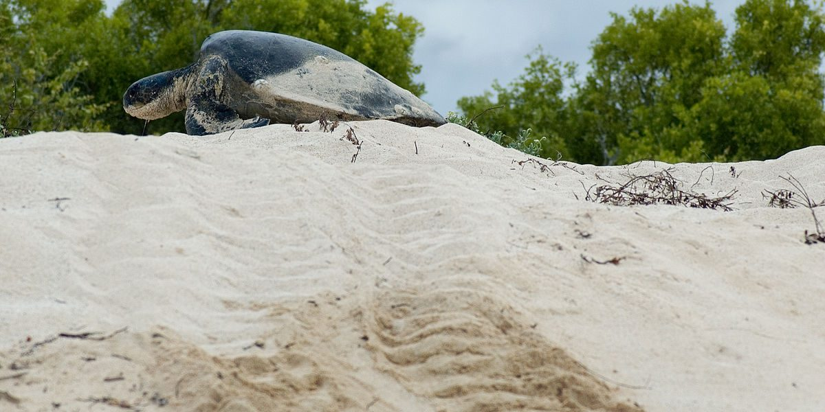 An endangered green sea turtle climbs up a sandbank on Bird Island, in the Seychelles archipelago.