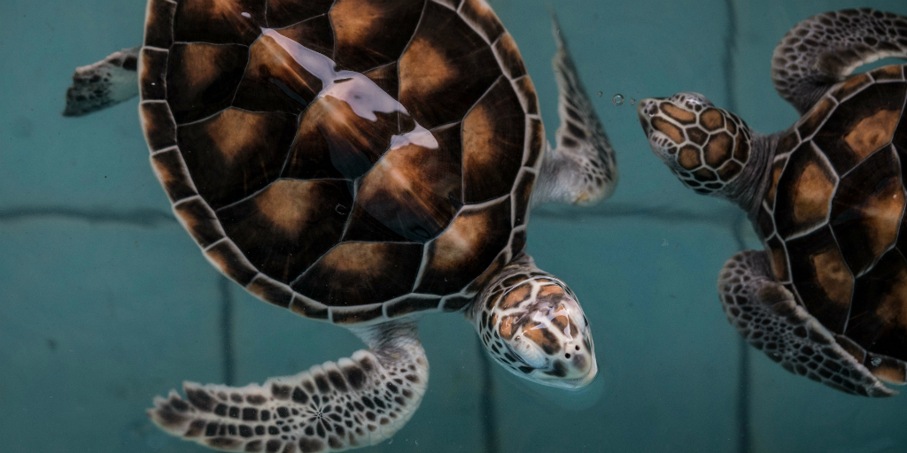Ban Nam Khem is the ideal location to volunteer in Thailand with the sea turtle conservation program.