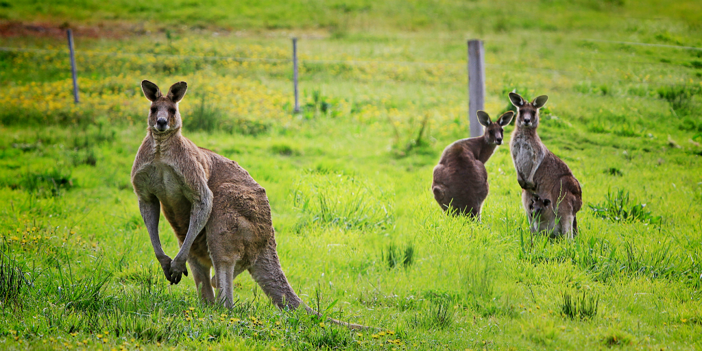 Fences cause environmental change to the natural movement patterns of Kangaroos in Australia