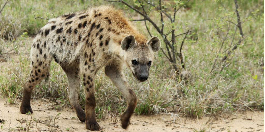 Hyenas are one of the more interesting animals found in Africa because of their appearance and laugh-like calls