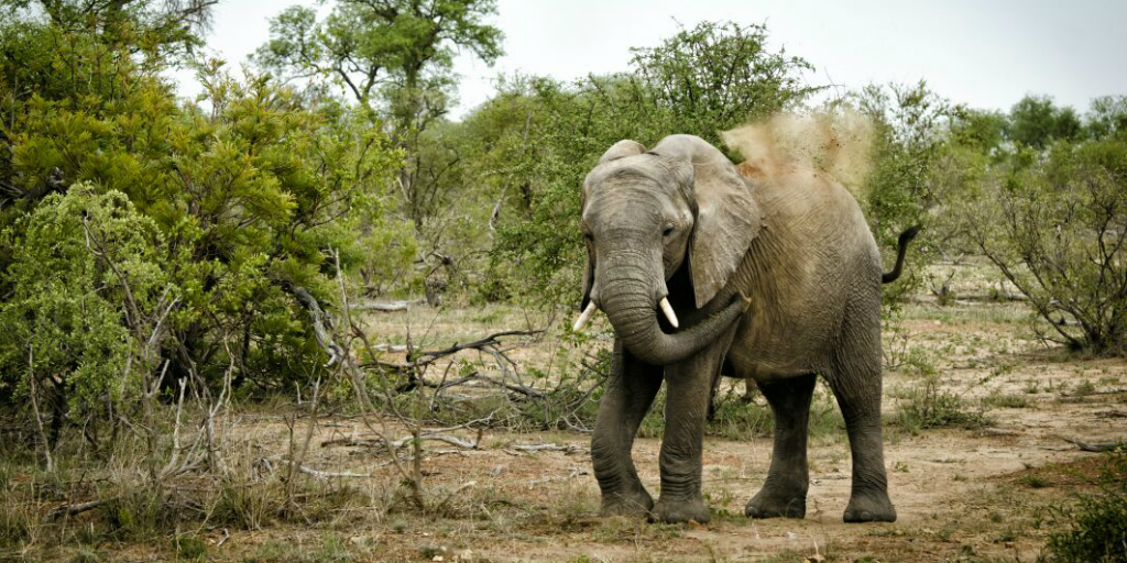 An elephant standing in a defensive pose in the savannah.