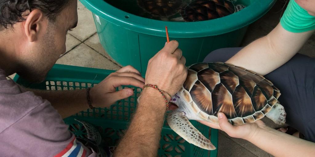 sea turtle hatchling being measured