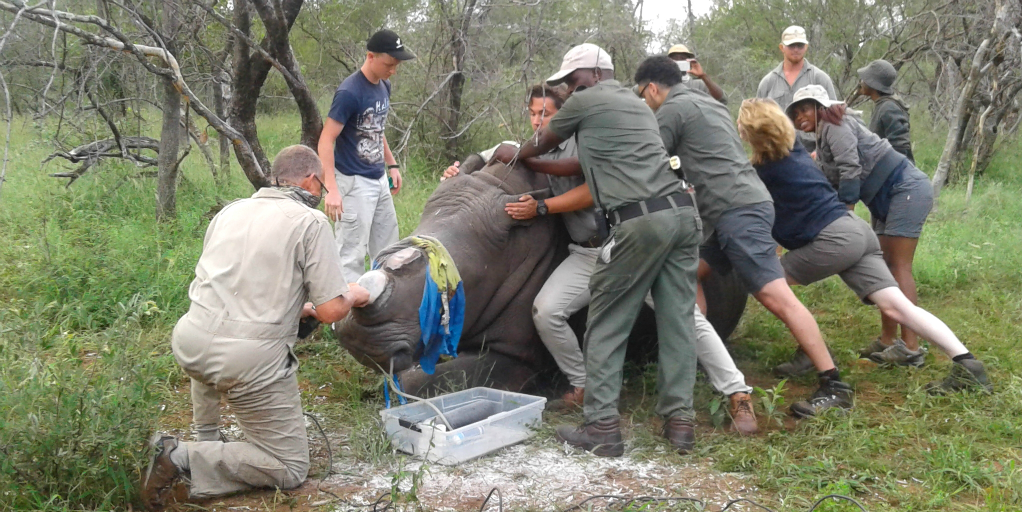 Rhino dehorning is a method used to protect rhinos from illegal poachers.