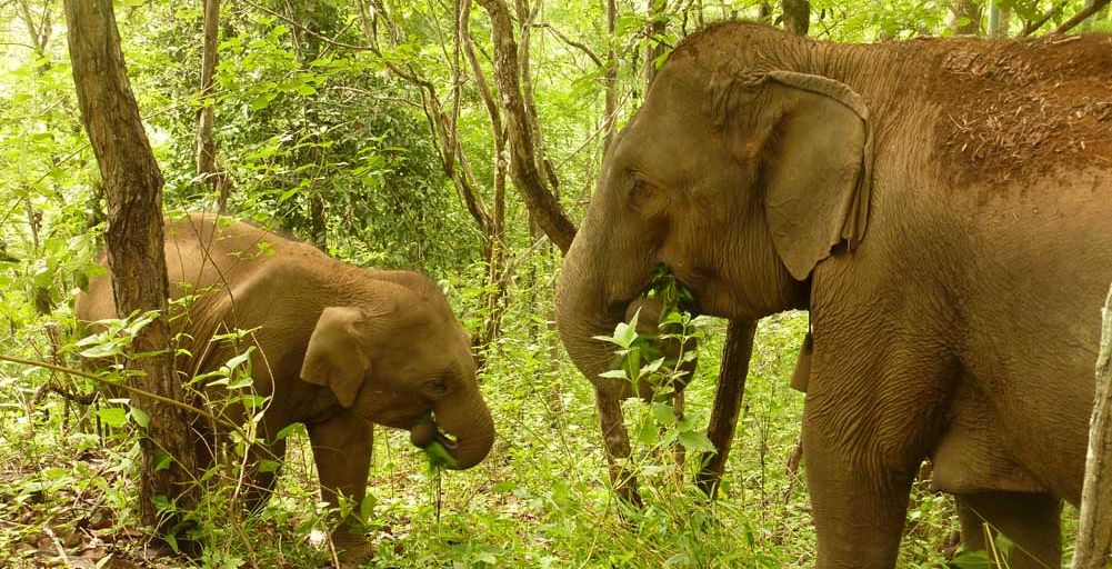 Asian elephants observed in the shade